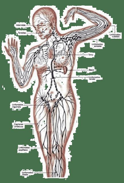 il sistema linfatico per capire il linfedema dopo isterctomia